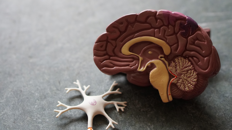 cerveau-synapse